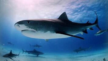 Tiger Sharks: Swimming With an Awesome Predator
