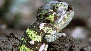 Chameleon Babies