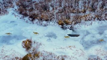 Behind the shot: Camera drone captures wolf pack hunt