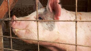That'll Do, Big Pig, That'll Do