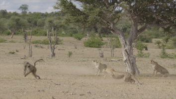 Baboon VS Cheetah