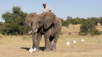 Amazing: Watch an Elephant Sniff for Bombs