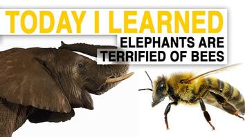 TIL: Bees Could Help Save Elephants—By Scaring Them