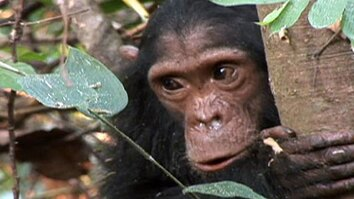 Tourists Killing Chimps?