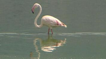 Pesticides Killing Flamingos?