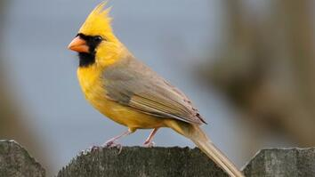 Watch: Rare Yellow Cardinal Spotted in Alabama