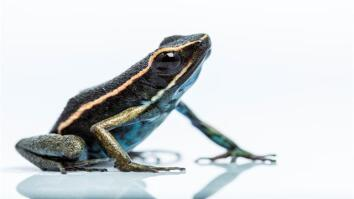 New Poison Dart Frog Found in the Amazonian Rain Forest