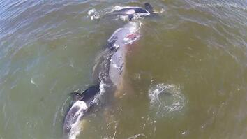 Orcas Take Down Whale in Coordinated Attack