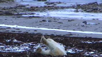 Polar Bear Cam: Sleep