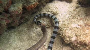 Watch: Sea Snake Swallows Eel Whole