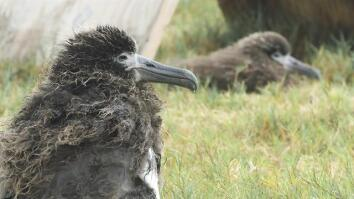 Saving Albatross Chicks From Tsunamis and Rising Seas