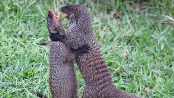 Watch Female Mongooses Fight For Their Kids