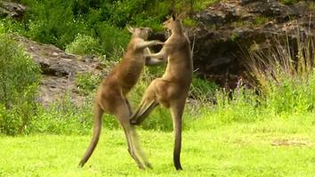 Watch: Kangaroo vs. Kangaroo