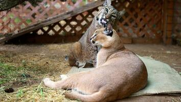 The Bobcat and the Caracal