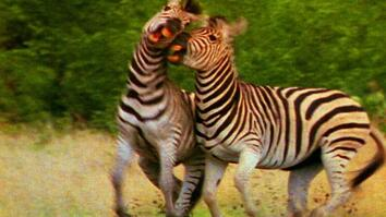 World's Deadliest: Zebra vs. Zebra