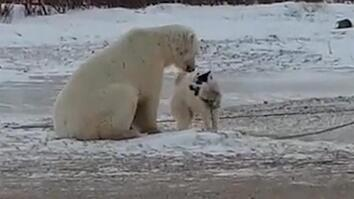 Watch an Unlikely Encounter Between a Sled Dog and a Polar Bear