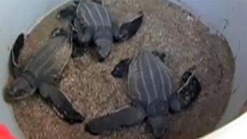 Saving Leatherback Turtles