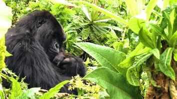 Searching for Rwanda's Famed Mountain Gorillas