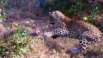 Leopards vs. Python Snake