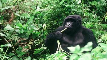 Winning the Battle for Endangered Gorillas in Africa's Oldest National Park