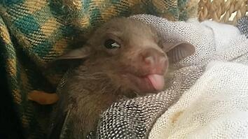 How Baby Bats Learn to Speak Dialects