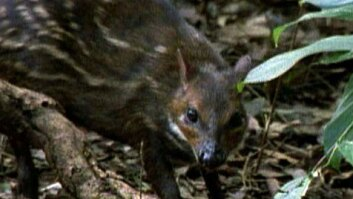 Water Chevrotain & Crowned Eagle