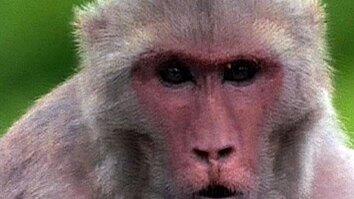 Rhesus Monkey Society
