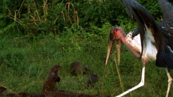 Stork vs. Mongoose