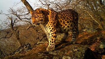 See One of the World's Rarest Big Cats