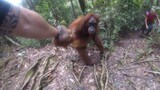 Clingy Orangutan Gets Too Close For Comfort