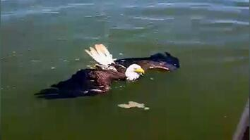Swimming Eagle Rescued From Bay