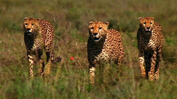 World's Deadliest: Cheetah Brothers' Takedown