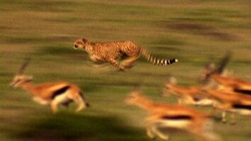 World's Deadliest: Cheetah Hunts Gazelle