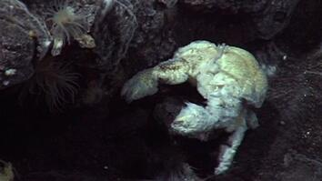 Ghostly Yeti Crab Swarms Discovered Near Antarctica