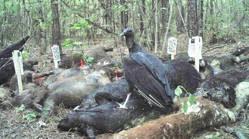 See What Happens When Three Tons of Dead Pigs Rot in the Woods