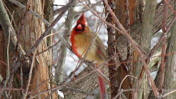 Exclusive video reveals half-male, half-female cardinal