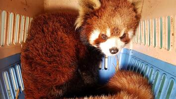Watch the Bittersweet Rescue of Red Pandas from Wildlife Smugglers