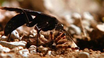 World's Deadliest: Hairy Spider vs. Wasp