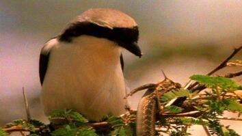 World's Weirdest: Cute Bird Impales Its Prey