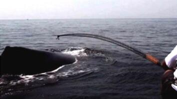 Whales Tagged to Prevent Collisions