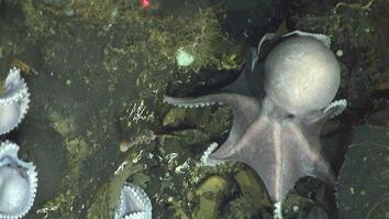 Hundreds of Octopus Moms Found in Deepest Nursery Ever Discovered