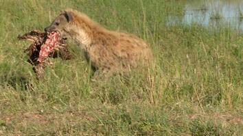 Hyenas Take Lion's Leftovers, Incur His Wrath