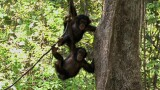 Spear-Wielding Chimps Studied