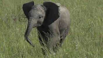 See How Baby Elephants Play Like the Grown-Ups