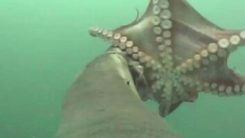 Octopus vs. Sea Lion—First Ever Video