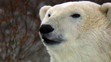State of Polar Bears