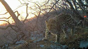 Listen to World's Rarest Leopard—Recorded in Wild for First Time