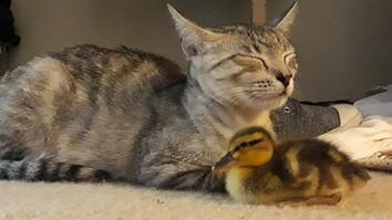 How a Duckling Joined a Cat Family