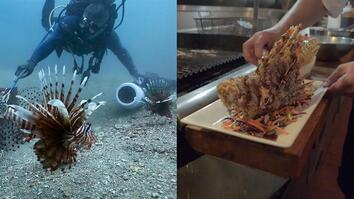 How Eating Venomous Lionfish Helps the Environment