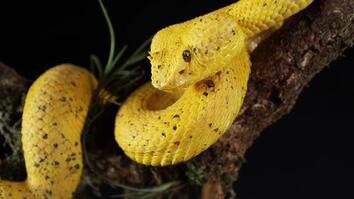 Striking Footage: See a Yellow Eyelash Viper in Action